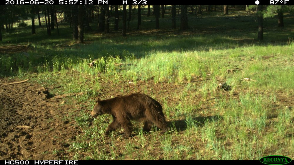 Keep the WILD in wildlife. Northern Arizona and Frontiere at Rogers Lake are home to many animal species, including black bear, prairie dog, coyote, elk, bald eagle, and numerous waterfowl. The picture of this black bear was taken by a wildlife camera at Rogers Lake County Natural Area.