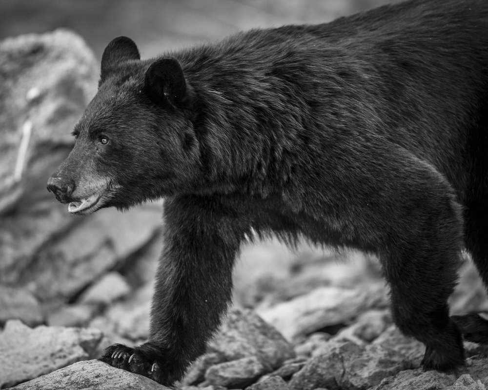 BEAR B&W WALK 5-4.JPG