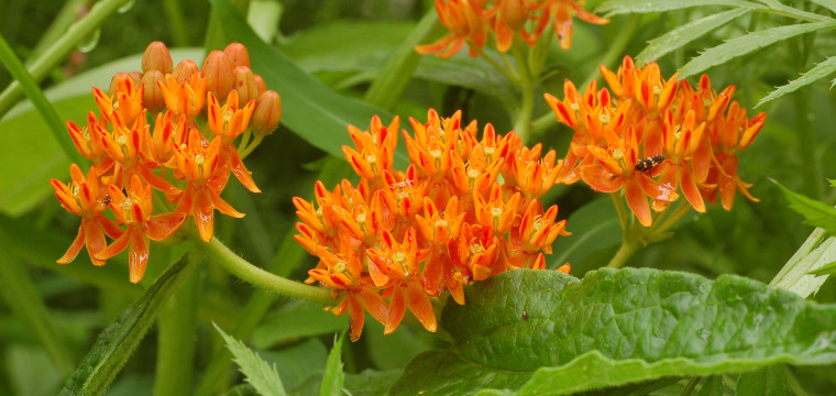 BUTTERFLYWEED-ASCLEPIAS-TUBEROSA-Butterfly_Weed_Asclepias_tuberosa_Striped-760x360.jpg