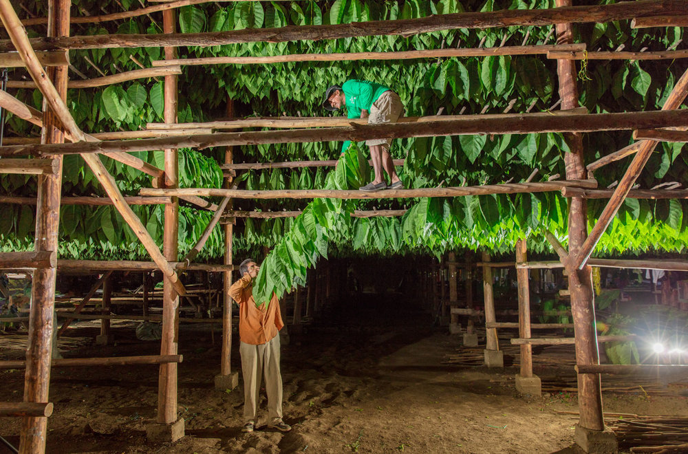Hanging Tobacco in the Curing Barn