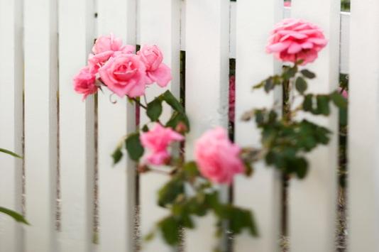 dreamstime_s_2038062-rose.jpg