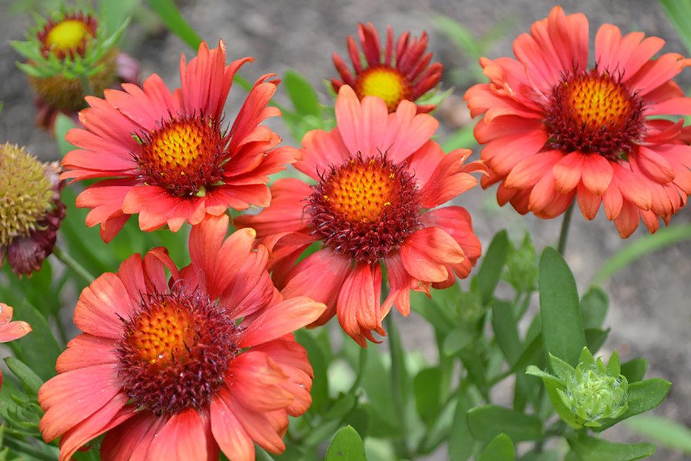 Gaillardia ARIZONA RED SHADES.jpg