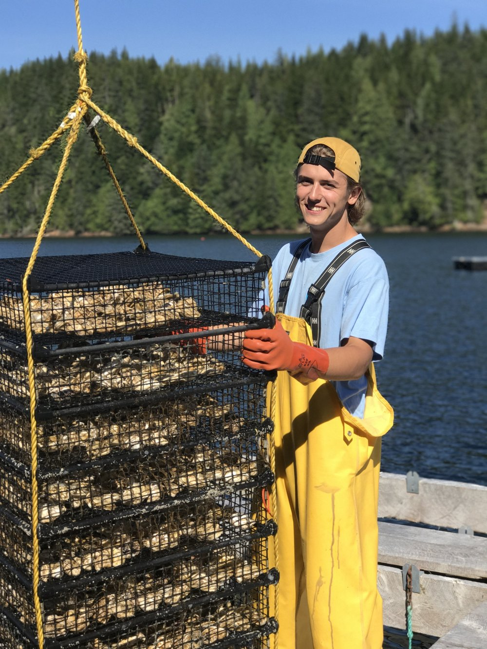 Harvesting Oyters