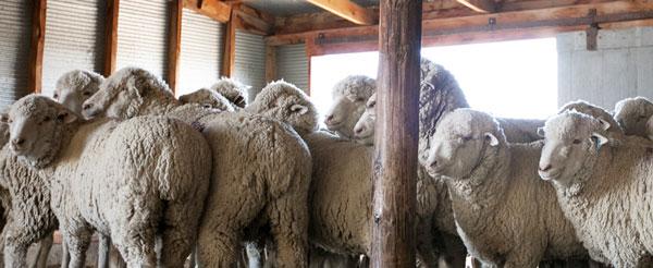 Targhee-Columbia-Sheep-RTP