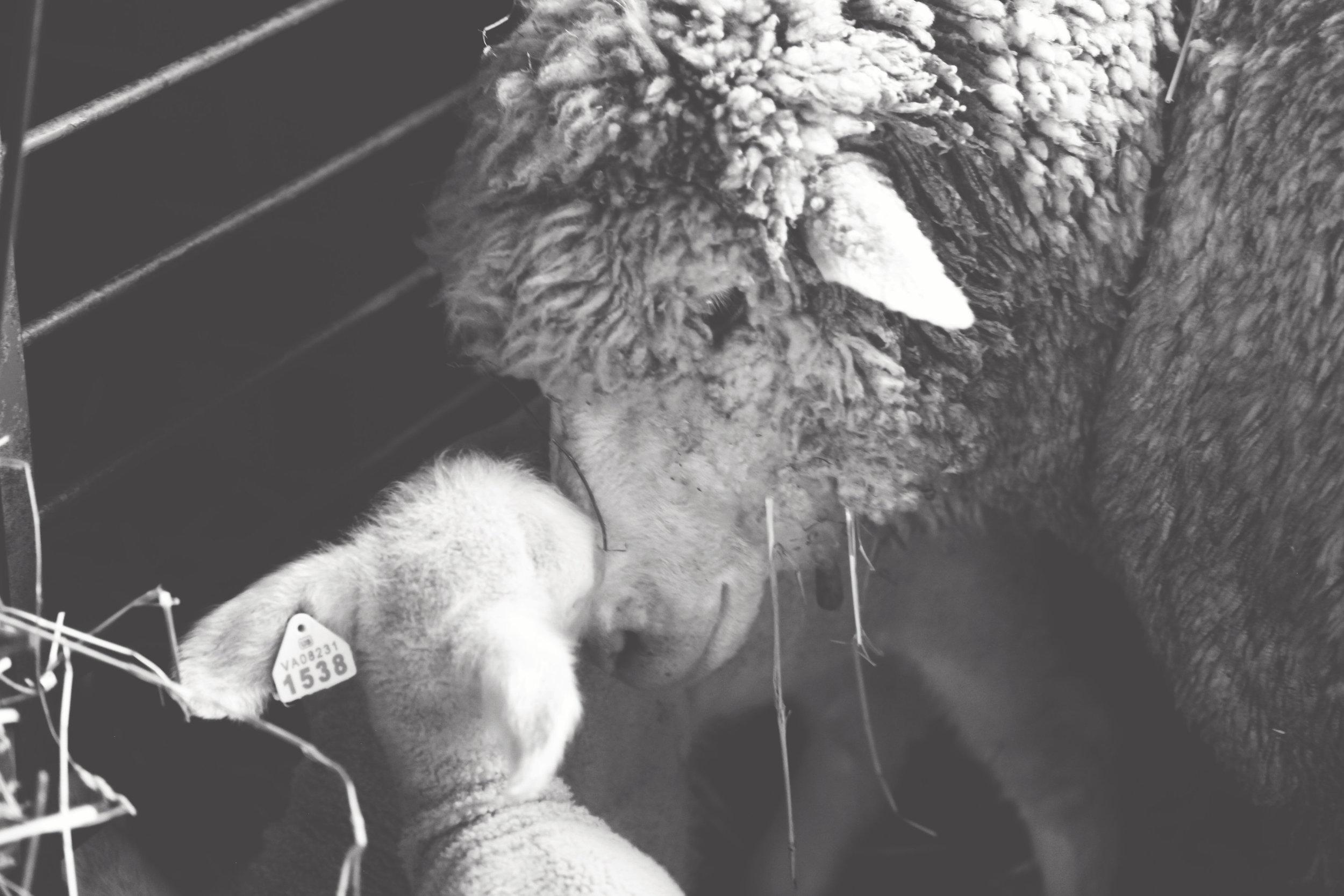 Cestari yarn