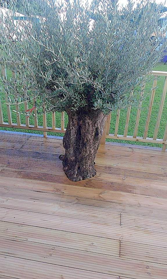 rhs-olive-tree.JPG