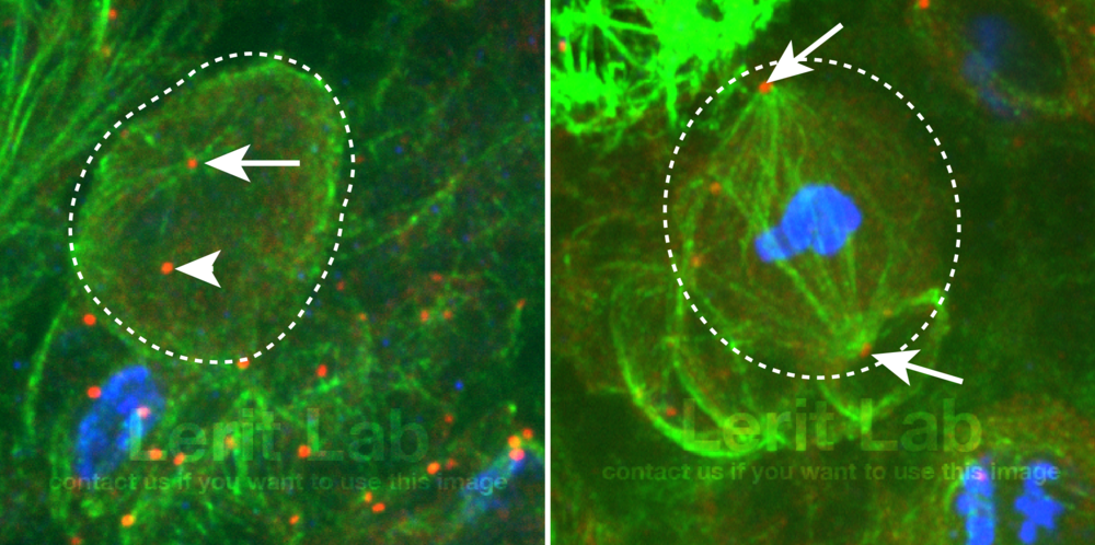 "During interphase (left) the daughter centrosome (arrow) is a more ""active"" microtubule-organizing center than the mother centrosome (arrowhead). During mitosis (right), both centrosomes (arrows) undergo mitotic maturation and contribute to spindle formation. Microtubules are shown in green; centrioles are red; nuclei of mitotic cells are blue."