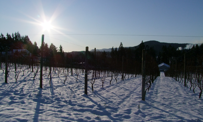 Snowy Vineyard Venturi Schulze Vineyards Vancouver Island