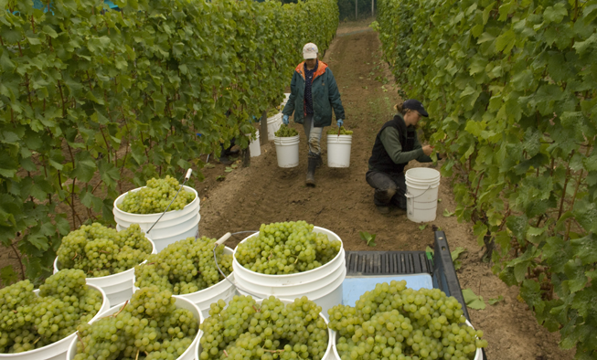 Grape Harvest at Venturi Schulze Vineyards