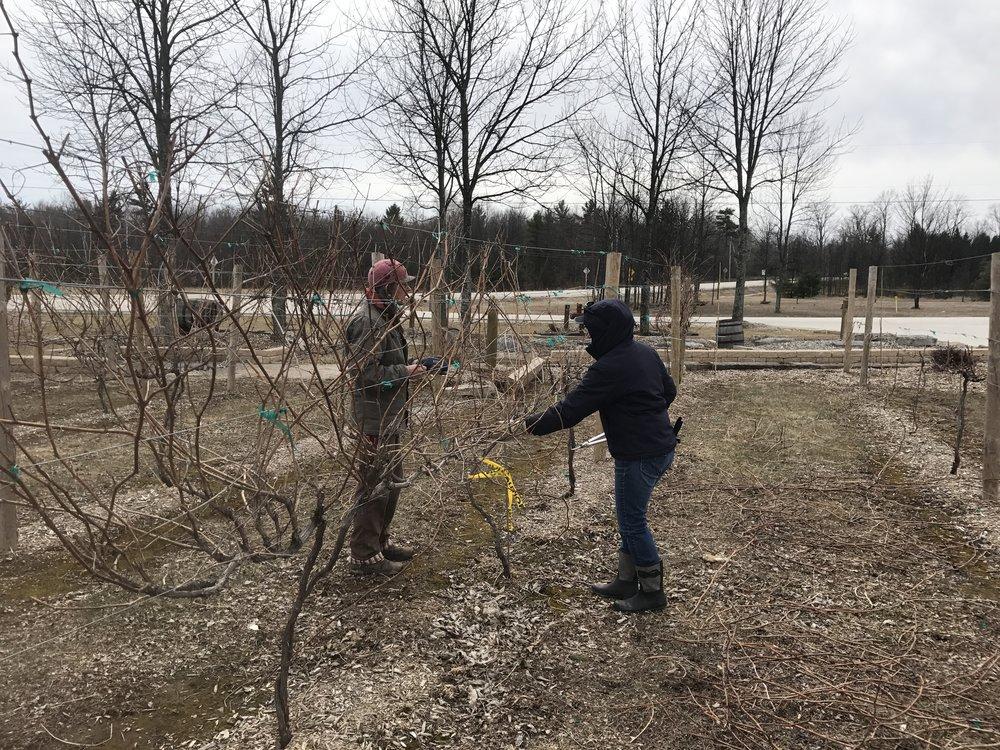 Vine pruning during Spring at Harbor Ridge Winery.