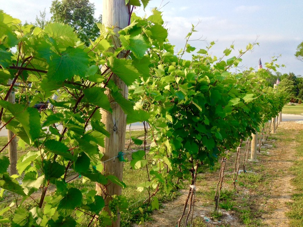 Our Marquette grapes during Summer.