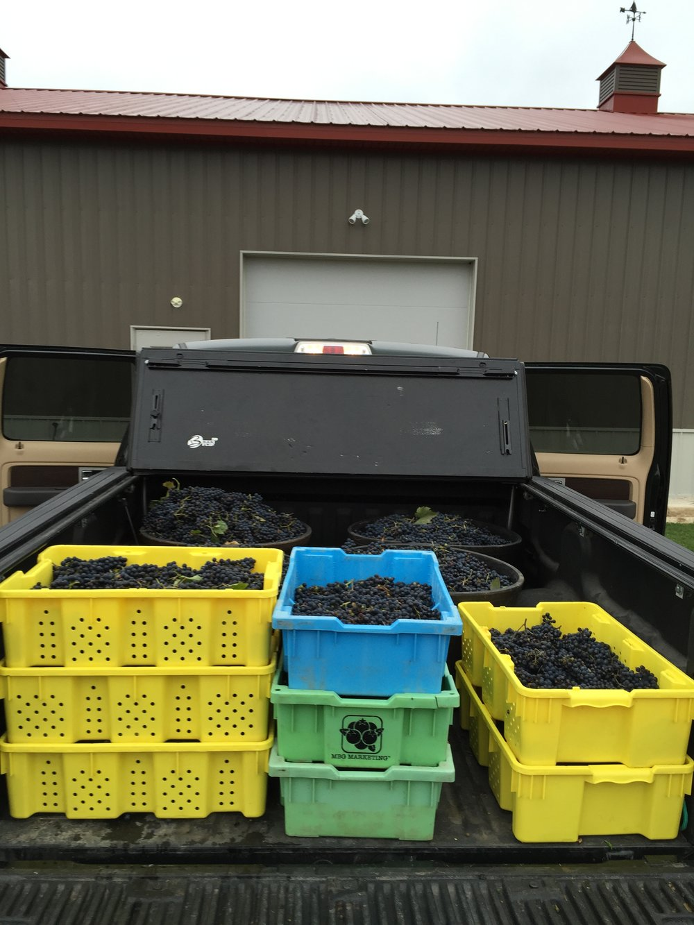 The fruits of our labor! Grape harvesting at Harbor Ridge Winery during the fall.