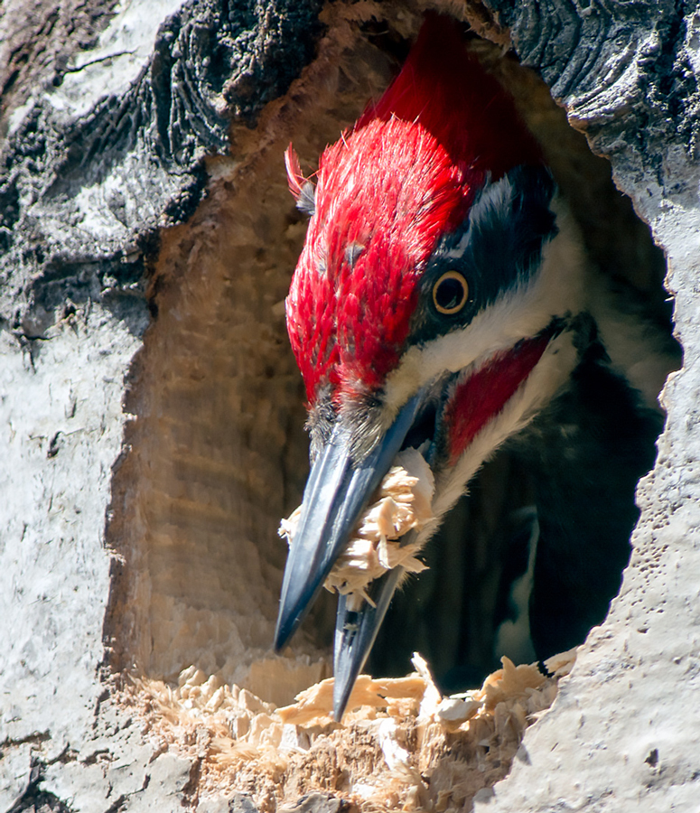 Pileated-Woodpecker-Brent-Eades.jpg
