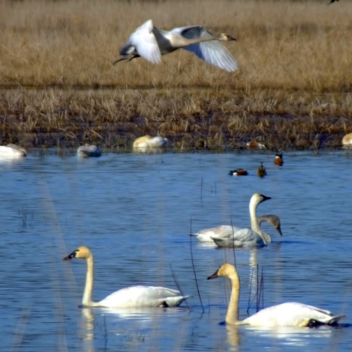 Tundra swans are a frequent site on Carty Lake.  Photo ©Linda Severson