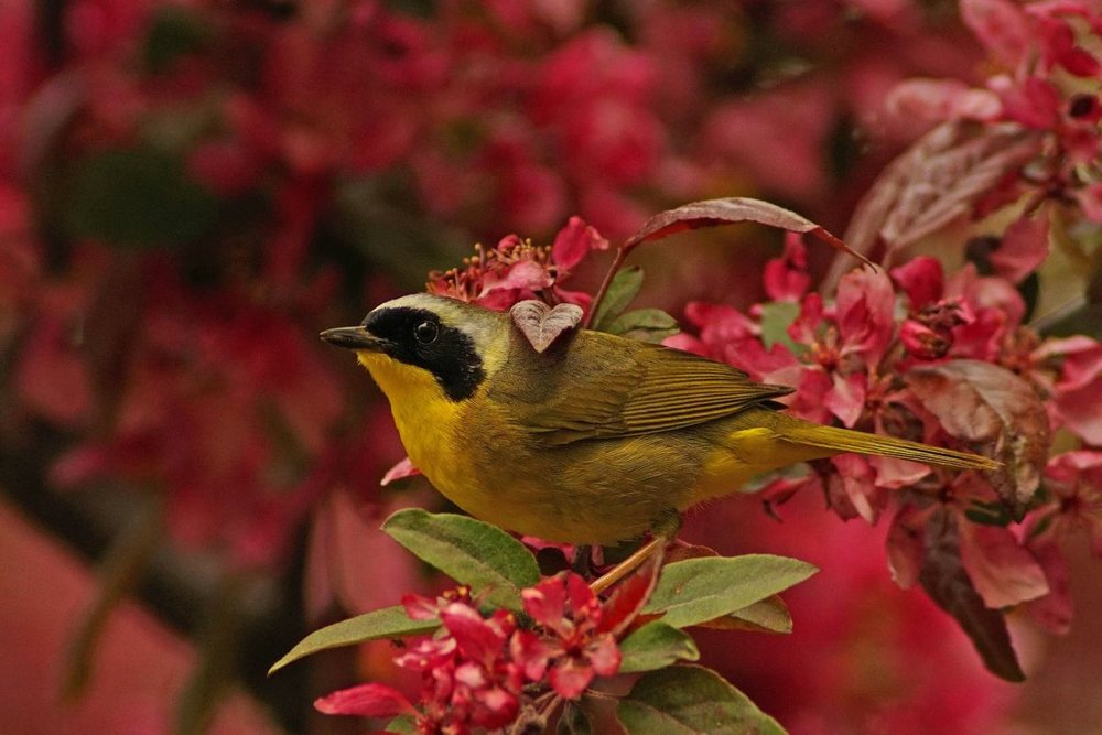 Second Place Winner:  Steven Jner. Common Yellowthroat.