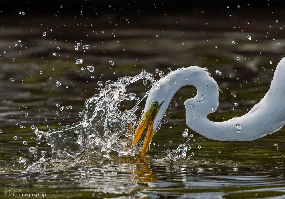 Third Place Winner:  Leonardo Estrada. Great Egret.