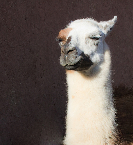 A picture of a llama with eyes nearly closed and one ear folded over, looking really startlingly, recognizably smug.
