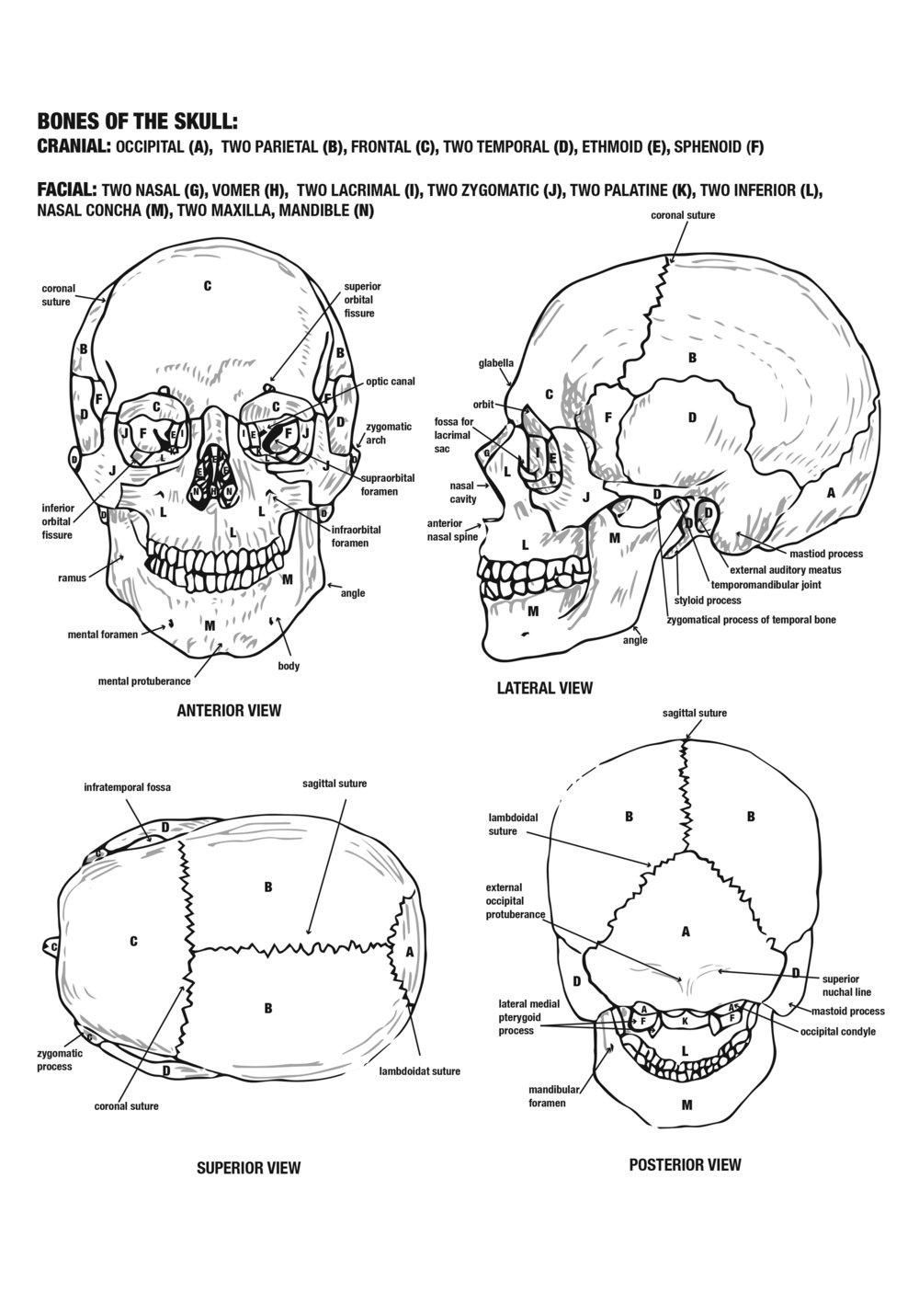 Cranium.jpg