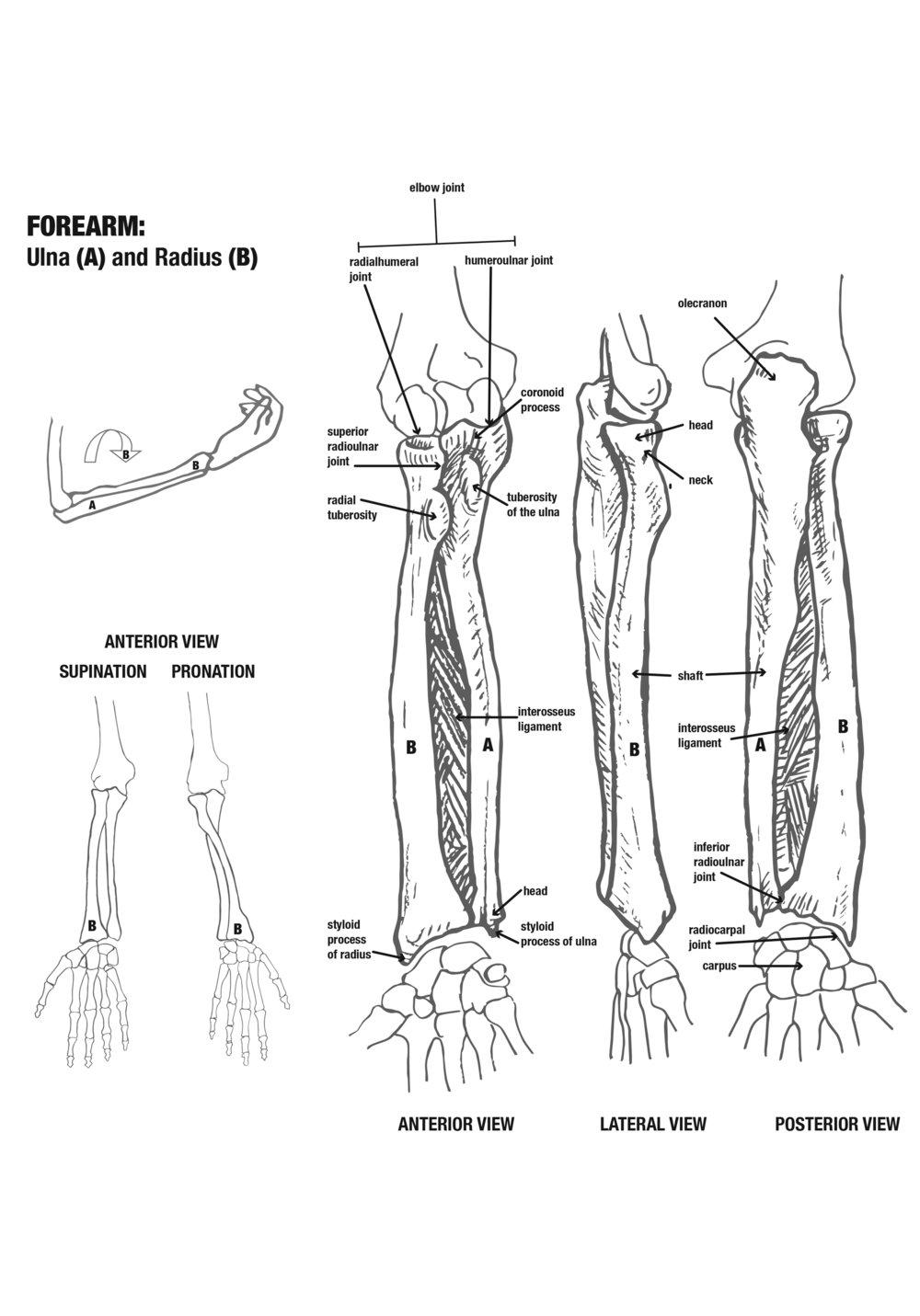 Forearm2.jpg