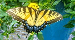 Francine-Locke-Butterfly-300x163.jpg