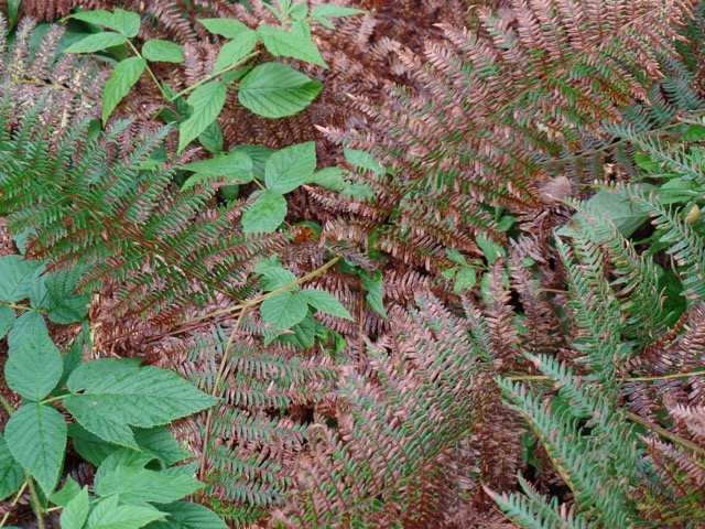 Fall-colored ferns close-up