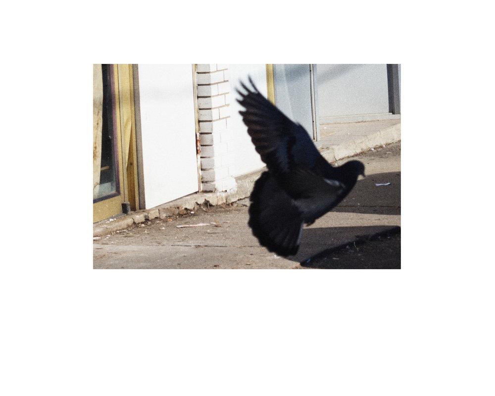 pigeonwebsize.jpg