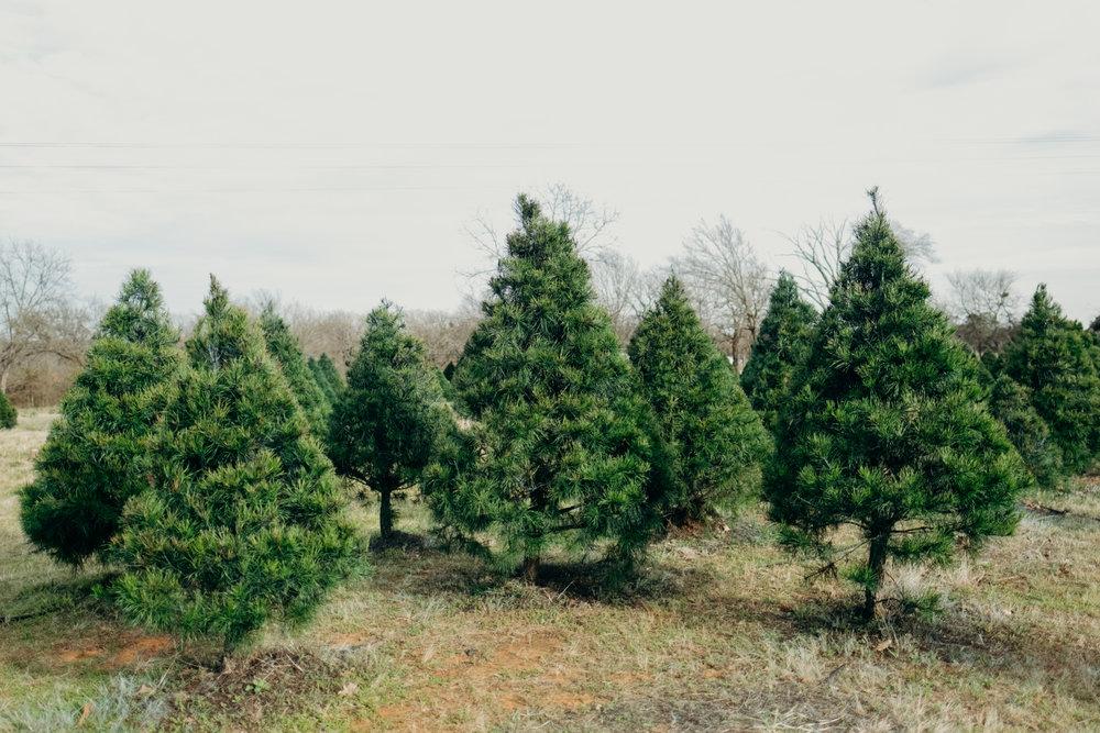 CHRISTMAS TREES -