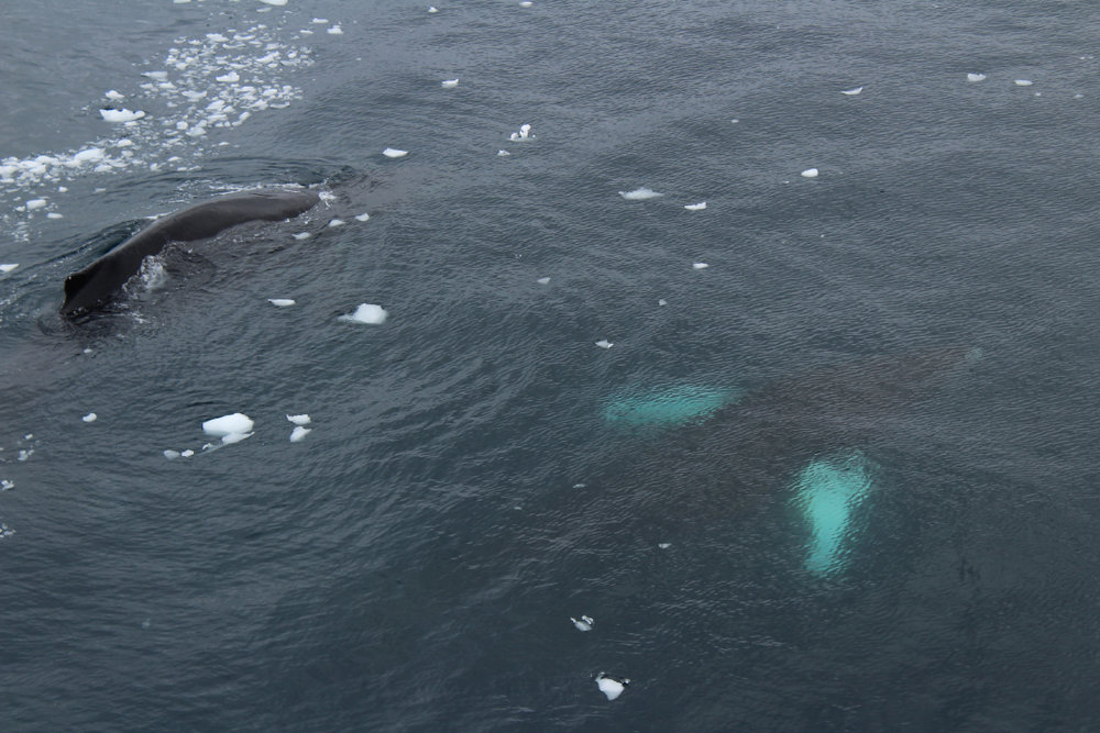 Humpbacks rising from the deep!