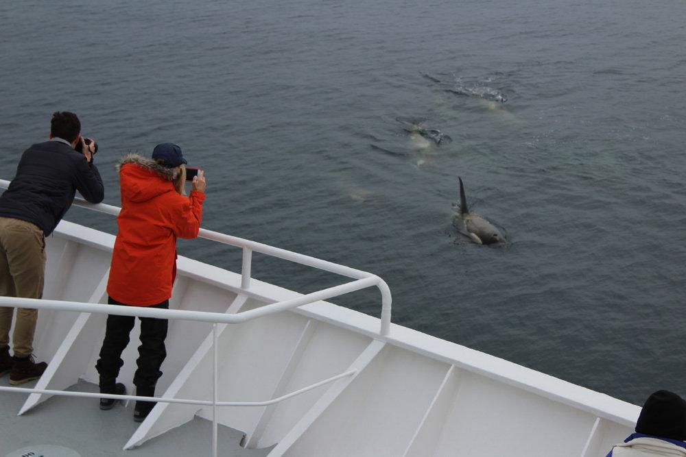 Killer whales surface near the ship!