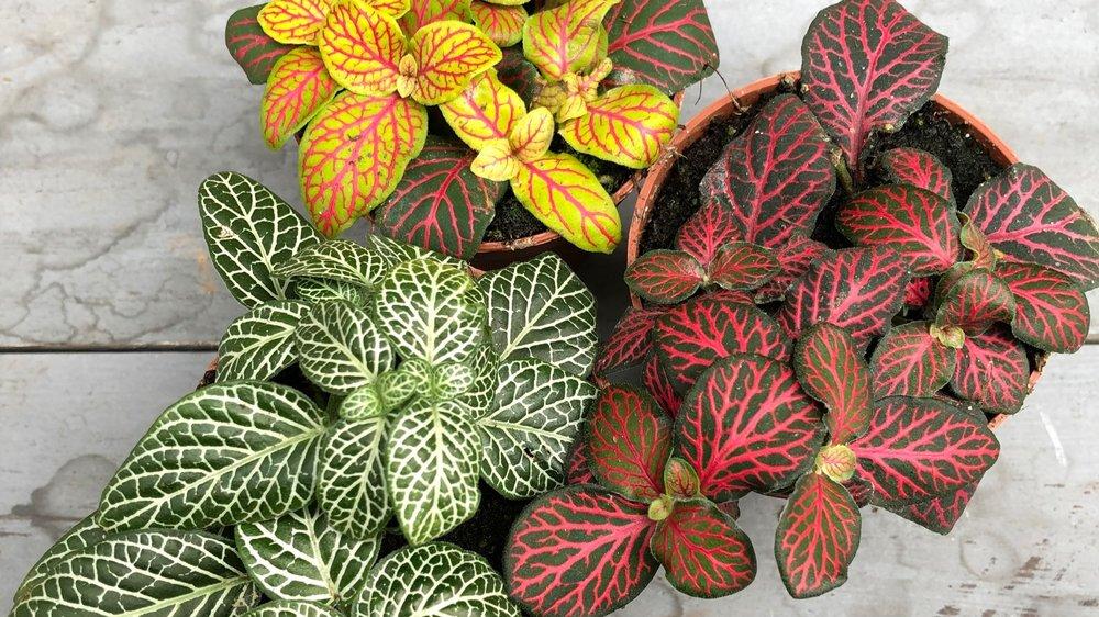 fittonia, Nerve Plant, fittonia verschaffeltii, fittonia albivenis, fittonia propagation, fittonia terrarium, fittonia flower, fittonia plant benefits, fittonia wilting, fittonia care uk