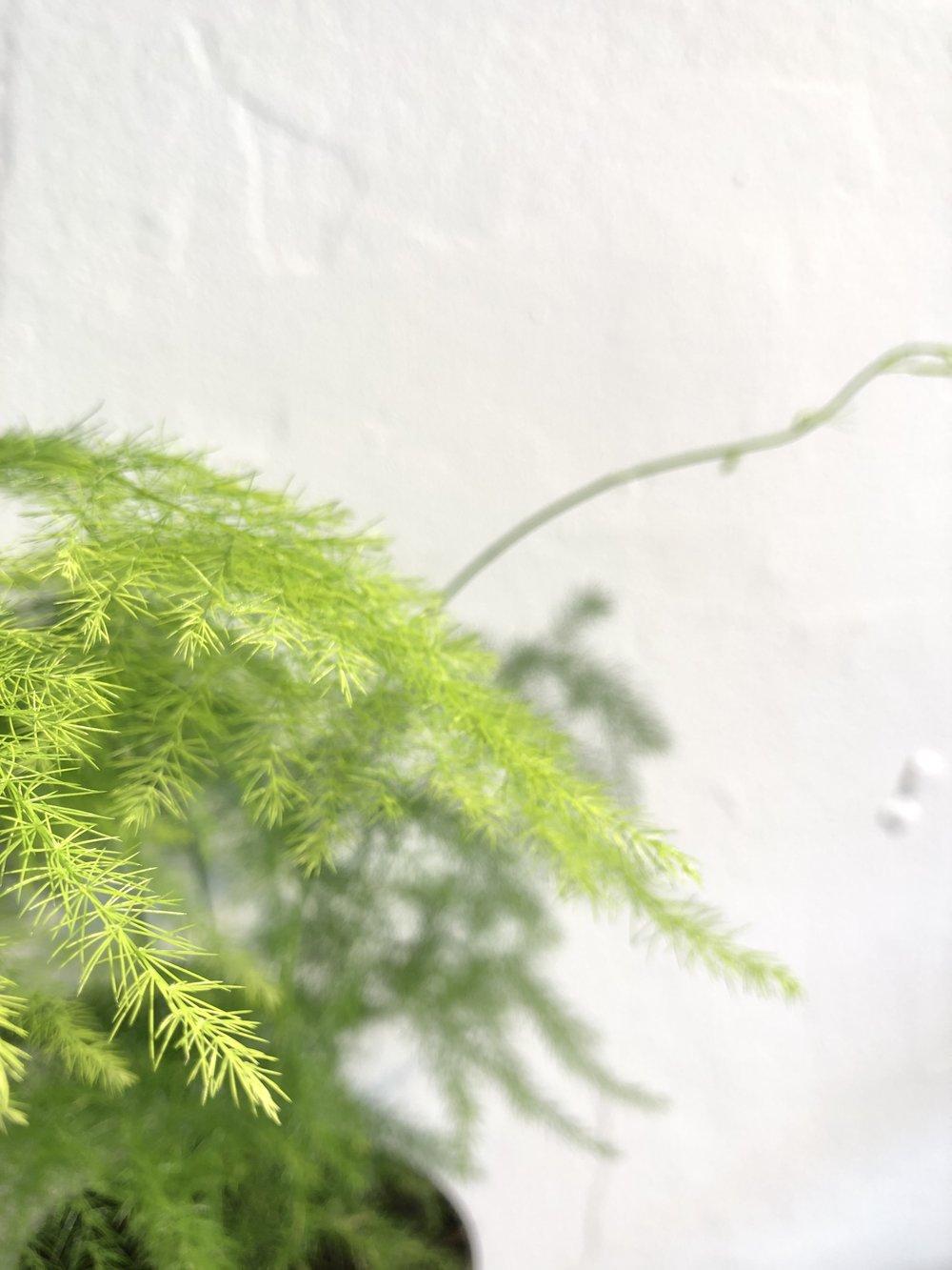 ferns, types of ferns, indoor ferns, large ferns for sale