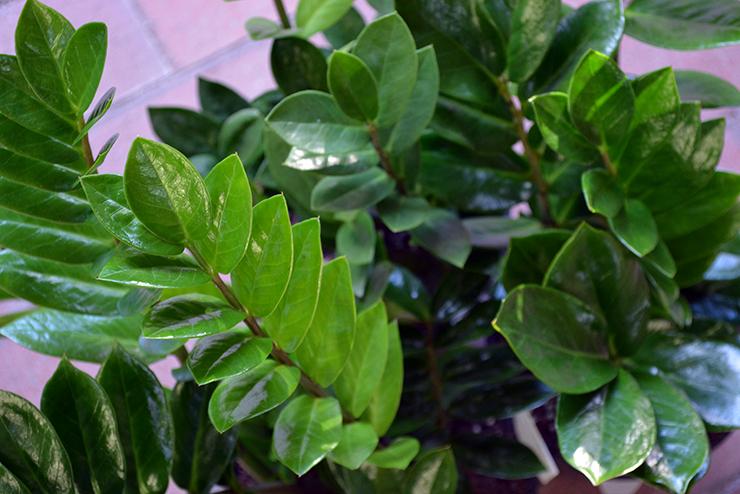 Zanzibar Gem Office Plants