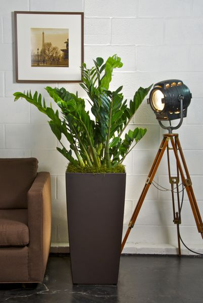 Zanzibar ZZ plants for the office