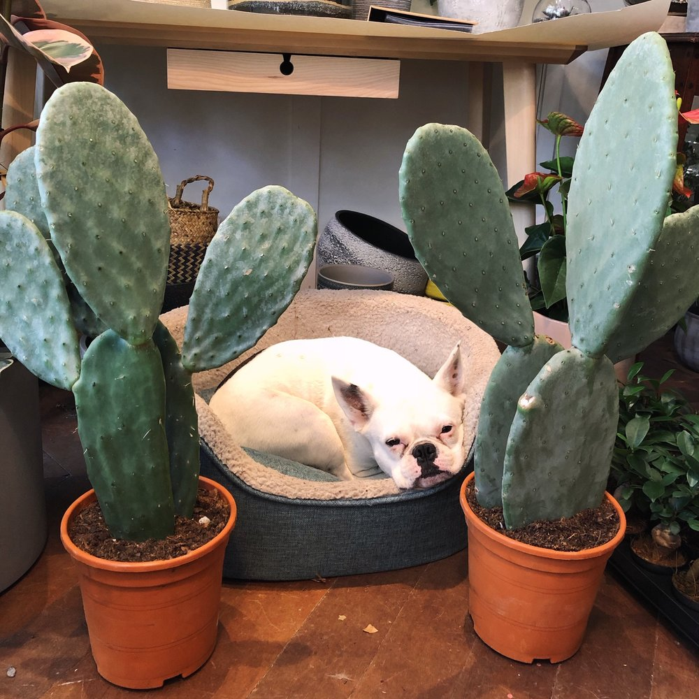 Here is our Cactus shop dog, Yolk. He's nestled between two large bunny ear or opuntia cacti for sale in our London cactus shop.