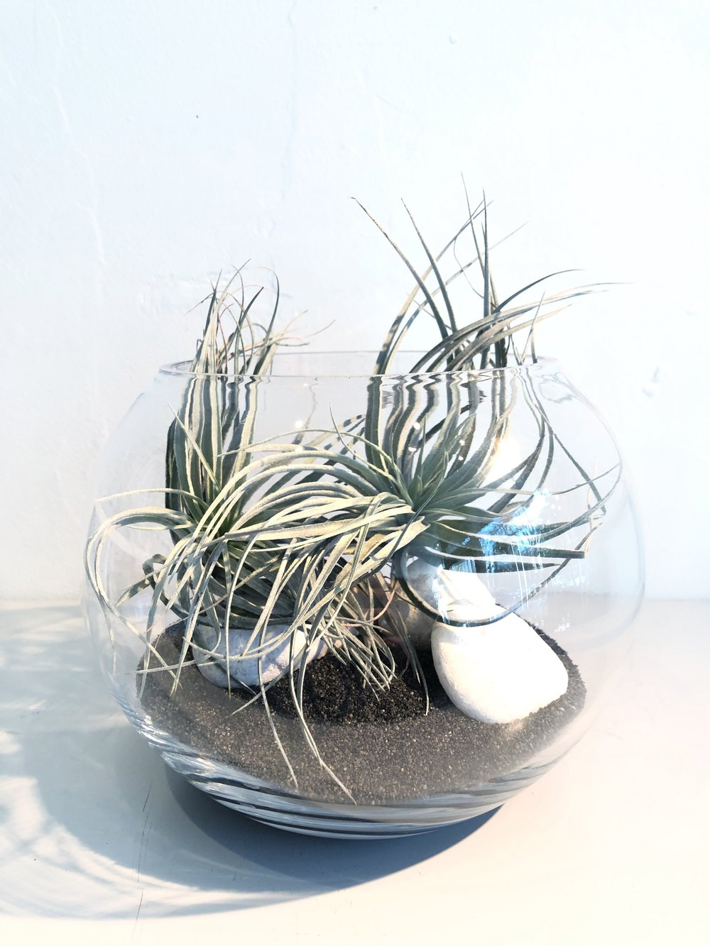 Tillandsia Terrariums, air plants, types of air plants
