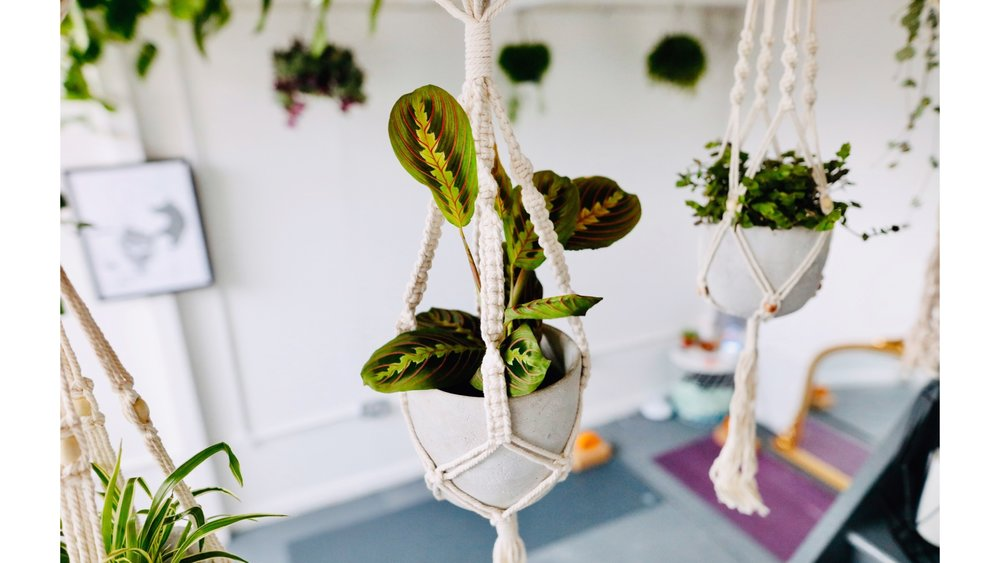Prayer Plant in Macrame hanger. Indoor plant installation services north london