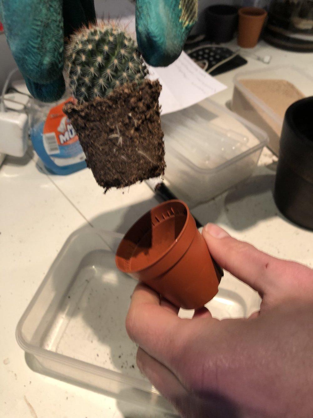 Prepare your cacti