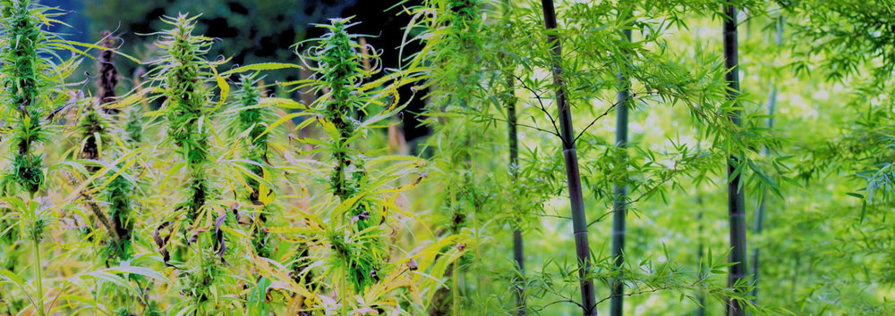 Hemp = Oil, Bamboo + Coal.  - These two plants pose a threat to fossil fuel companies. They complement each other in every way.