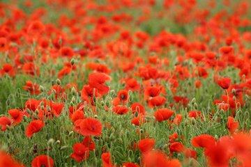 poppies-1369329
