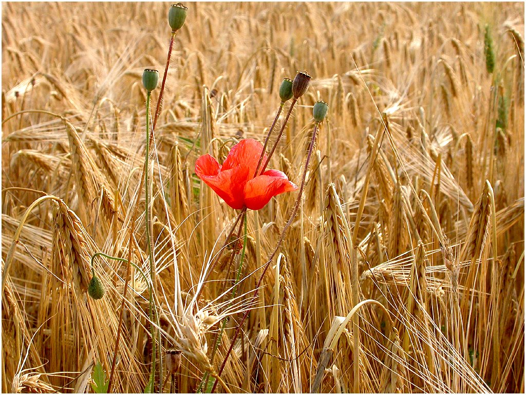 poppy-in-a-gold-field-1455918