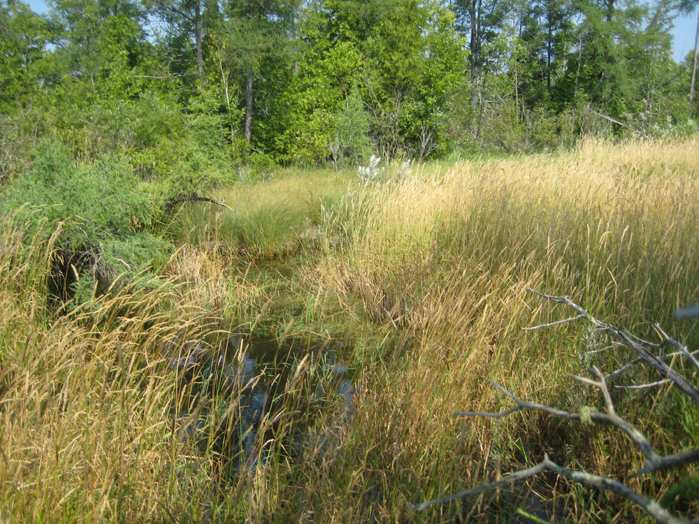 Before! (2008). We'd already been working here, removing invasive exotic reed canary grass.