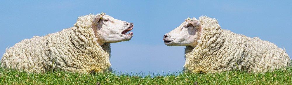 sheep-3557445_1920.jpg