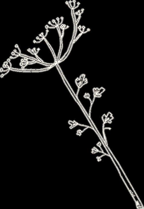 Cira parsley illustration WEBSITE.png