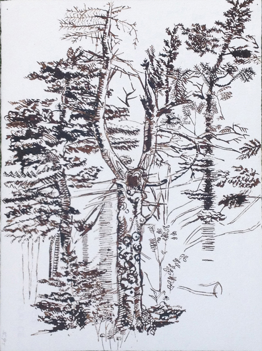 Adams Tree on Mount Greylock.jpg