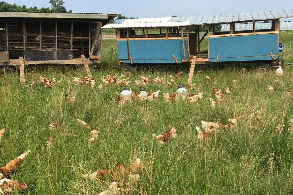 chickens-2-1024x683.jpg