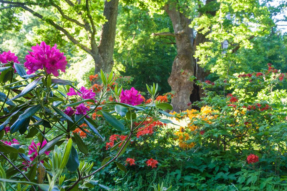 Rhododendron & azalea below the thousand-year old oak tree