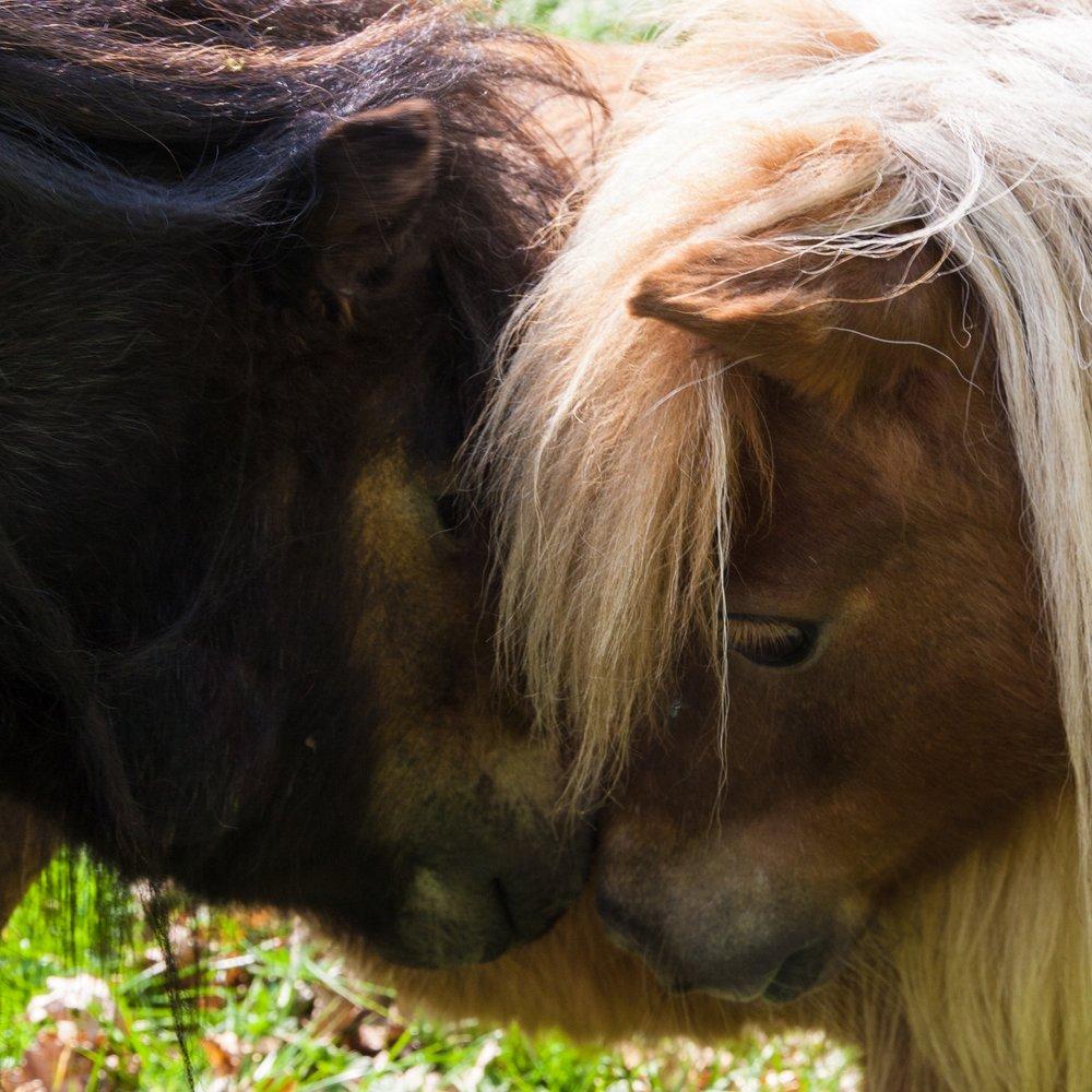 mini-shetland-ponies-Bosjokloster.jpg