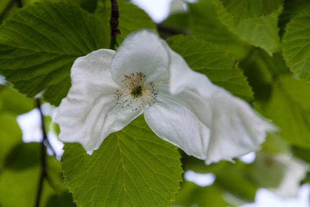 Näsduksträdet  Davidia involucrata  blommar i Ruingården i maj