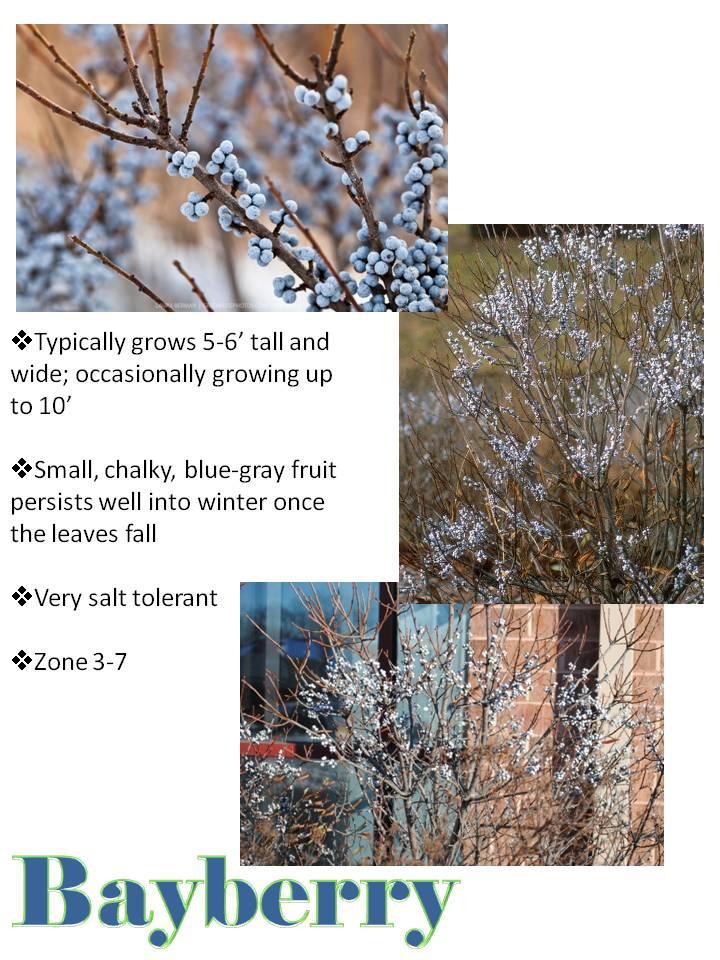 Winter- Bayberry.jpg