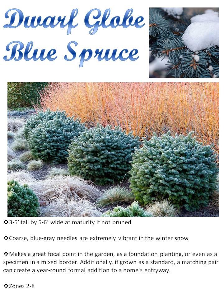Winter- Dwarf Globe Blue Spruce.jpg
